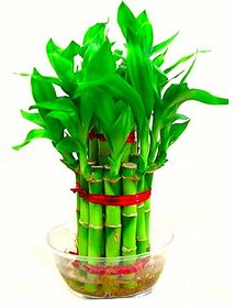 Bonsai Bamboo Tree Seeds (1 cm x 1 cm x 1 cm) - Pack Of 10