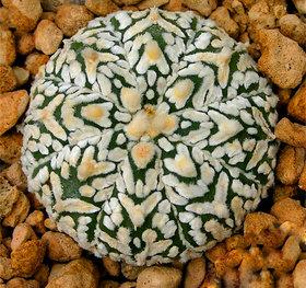 Futaba Mini Astrophytum succulents Seeds - 100 Pcs