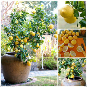 10Pcs Rare Lemon Tree Seed Indoor Outdoor Heirloom Fruit Plant Seeds Home Garden
