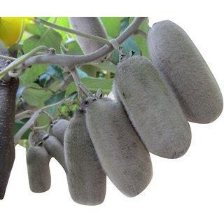 Futaba Japanese Actinidia Eriantha Kiwi Fruit Seeds - 50 Pcs