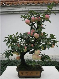 apple tree dwarf bonsai seeds 10 per packet