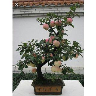 apple tree dwarf bonsai seeds 10 per packet