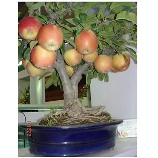 apple bonsai tree seeds bonsai 10 per packet