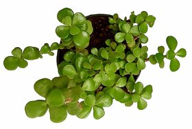 Good Luck Plant, Chinese Fengshui Money Plant