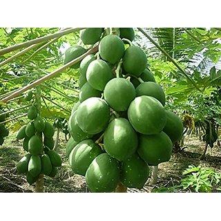 Papaya Hybrid (15 Seeds, 1 Pack of Average 25)