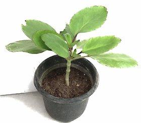 RAJ GARDEN PLANTS Patharchatta,  live plant , Kalanchoe Pinnata - Bimbima Live Plant