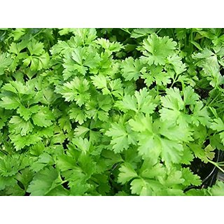 Coriander Seeds - Desi Variety Best Quality (Pack of 200 Seeds)