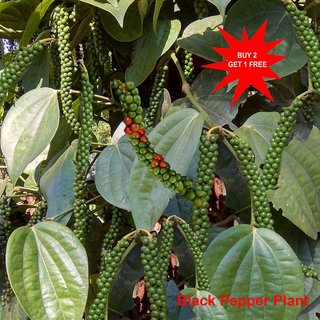 Black Pepper Plant/ Indian Pepper/ Piper nigrum/ Black Pepper Stem/ Live Stem for Growing/ 7 Long 10 Stems