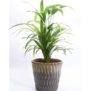 Sheel Greens Live Indoor Plant Areca Palm With Pot Online Get 45 Off