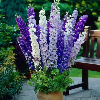 R-DRoz Flowers Seeds : Larkspur (Delphinium) Mixed Colour Flowers Aone Seeds - Pack 50 Premium Seeds