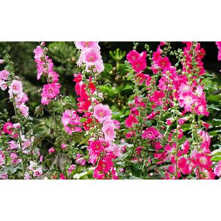 Hollyhock (Alcea) Multi Colour Flowers Indian Seeds for Home Garden - Pack  30 Premium Seeds