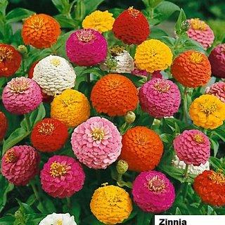 Zinnia Flowers Better Germination Flowers Seeds - Pack 40 Premium Seeds