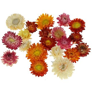 Flowers Seeds : Helichrysum (Straw/Pepper Flowers) Mixed Colour Flowers Advance Seeds - Pack 50 Premium Seeds