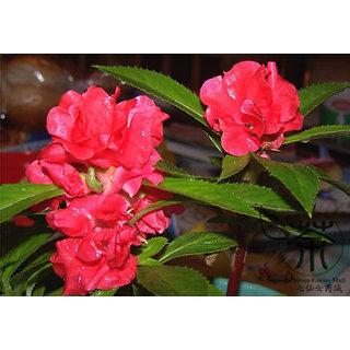 R-DRoz Flowers Seeds : Balsam Multi Colour Flowers High Germination Seeds - Pack 30 Premium Seeds