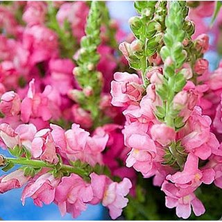 Flowers Seeds : Anthrinium (Dog Flowers/Snap Dragon) Flowers Indian Seeds  for Home Garden - Pack 100 Premium Seeds