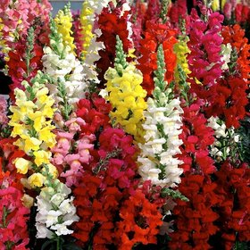 Flowers Seeds : Anthrinium (Dog Flowers/Snap Dragon) Multi Colour Flowers Supers Seeds For Home Garden - Pack 100 Premium Seeds
