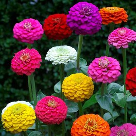 Zinnia LILIPUT Mixed Colour Flowers Seeds for Home Garden - Pack 40 Premium Seeds