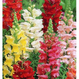 R-DRoz Flowers Seeds : Anthrinium (Dog Flowers/Snap Dragon) Flowers Indian Seeds for Home Garden - Pack 100 Premium Seeds