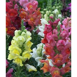 R-DRoz Flowers Seeds : Anthrinium (Dog Flowers/Snap Dragon) Multi Colour Flowers Better Germination Flowers Seeds - Pack 100 Premium Seeds