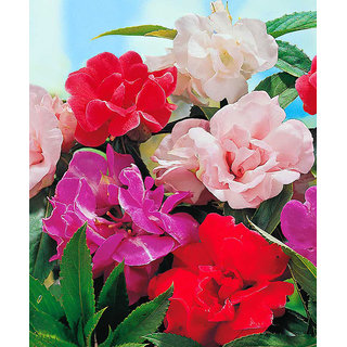 Flowers Seeds : Balsam Mixed Colour Flowers Refined Seeds - Pack 30 Premium Seeds