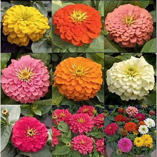 R-DRoz Flowers Seeds : Zinnia Flowers Seeds - Pack 40 Premium Seeds