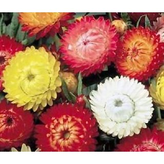 R-DRoz Helichrysum (Straw/Pepper Flowers) Mixed Colour Flowers Best Quality Seeds - Pack 50 Premium Seeds