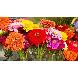 Flowers Seeds : Zinnia Multi Colour Flowers Super Double Quality Seeds - Pack 40 Premium Seeds