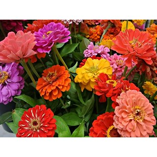 R-DRoz Flowers Seeds : Zinnia Flowers Super Double Quality Seeds - Pack 40 Premium Seeds