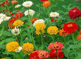 Flowers Seeds : Zinnia LILIPUT Mixed Colour Flowers 100% Organic Seeds - Pack 40 Premium Seeds
