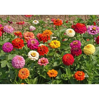 R-DRoz Zinnia LILIPUT Mixed Colour Flowers Supers Seeds For Home Garden - Pack 40 Premium Seeds