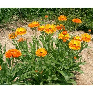 Buy Flowers Seeds Calendula Mixed Colour Flowers Indian Seeds For Home Garden Pack 30 Premium Seeds Online Get 51 Off