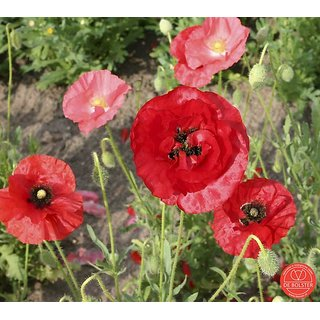 Buy Shirley Poppy Flowers M Flowers Seeds Pack 100 Premium Seeds