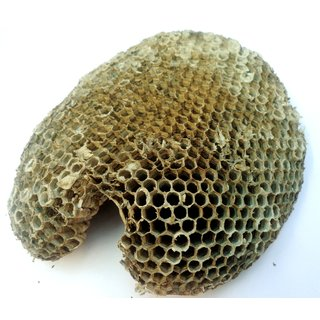 yellow bee nest ( tattaiya ka chatta )