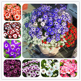 R-DRoz Flowers Seeds : Cineraria Mixed Colour Flowers Premium Seeds for Home Garden-Pack of 50 Premium Quality Seeds with Free Growing Soil