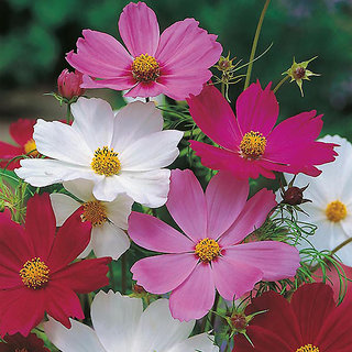 Cosmos Mixed Colour Flowers Exotic Seeds-Pack of 30 Premium Quality Seeds with Free Growing Soil