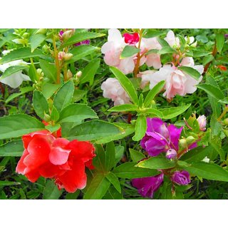 Balsam Multi Colour Flowers Super Advanced Seeds-Pack of 30 Premium Quality Seeds with Free Growing Soil
