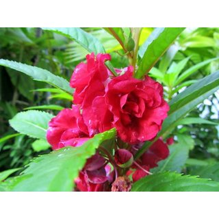R-DRoz Flowers Seeds : Balsam Flowers Indian Seeds for Home Garden-Pack of 30 Premium Quality Seeds with Free Growing Soil