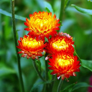 Helichrysum (Straw/Pepper Flowers) Flowers Plus Quality Seeds For Home Garden-Pack of 50 Premium Quality Seeds with Free Growing Soil