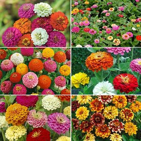 R-DRoz Zinnia Flowers 100% Pure Organic Seeds-Pack of 40 Premium Quality Seeds with Free Growing Soil