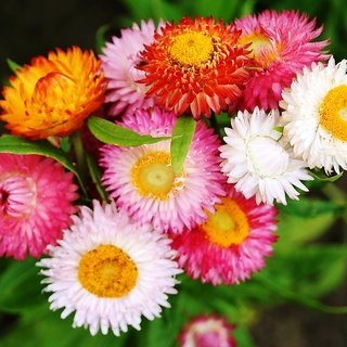 R-DRoz Flowers Seeds : Helichrysum (Straw/Pepper Flowers) Flowers Premium Flowers Seeds-Pack of 50 Premium Quality Seeds with Free Growing Soil