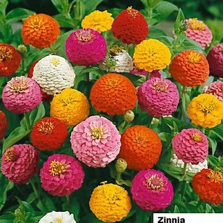 Flowers Seeds : Zinnia Mixed Colour Flowers Plus Quality Seeds For Home Garden-Pack of 40 Premium Quality Seeds with Free Growing Soil