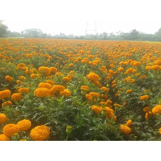 PuspitaNursery Marigold Flower Seed Orange Color African Variety Best Quality For Farming 100gm in a Secured Packet