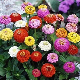 Zinnia LILIPUT Flowers Trusted Quality Seeds-Pack of 40 Premium Quality Seeds with Free ORGANIC Growing Soil
