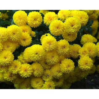 Flowers Seeds : Marigold YELLOW Flowers Super Double Quality Seeds-Pack of 50 Premium Quality Seeds with Free ORGANIC Growing Soil