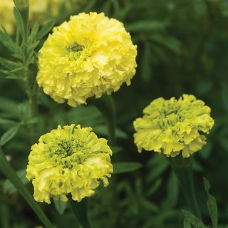 Flowers Seeds : Marigold YELLOW Flowers Multi-x Quality Seeds For Home Garden-Pack of 50 Premium Quality Seeds with Free ORGANIC Growing Soil