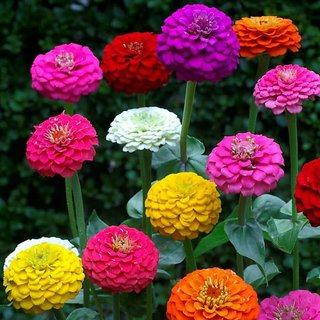 Zinnia LILIPUT Mixed Colour Flowers Fast Germination Seeds For Home Garden-Pack of 40 Premium Quality Seeds with Free ORGANIC Growing Soil