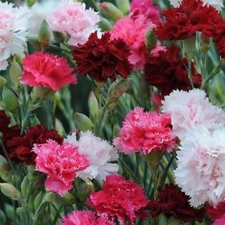 Flowers Seeds : Dianthus Flowers Exotic Seeds-Pack of 50 Premium Quality Seeds with Free ORGANIC Growing Soil