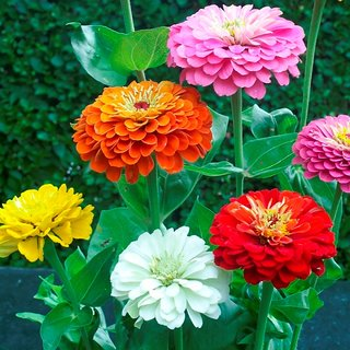 R-DRoz Flowers Seeds : Zinnia LILIPUT Mixed Colour Flowers Quality Seeds for Home Garden-Pack of 40 Premium Quality Seeds with Free ORGANIC Growing Soil