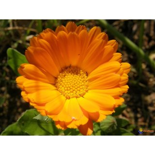 Calendula Mixed Colour Flowers Best Quality Seeds-Pack of 30 Premium Quality Seeds with Free ORGANIC Growing Soil