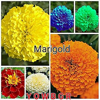 Marigold Flower Seeds Combo - Blue, Red, Pink, White, Yellow (All Seeds Mixed 100 Seeds)
